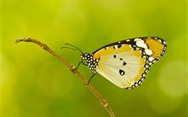 Butterfly, wings, green background, insect