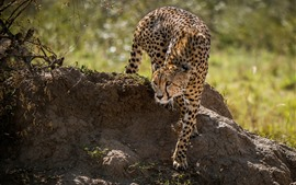 Preview wallpaper Cheetah, walk, grass