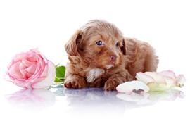 Милый щенок и роза, белый фон