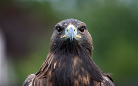 Preview wallpaper Eagle front view, head, beak, eyes