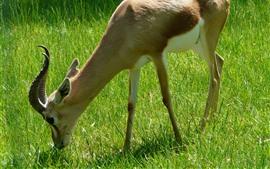 Preview wallpaper Gazella, eating grass