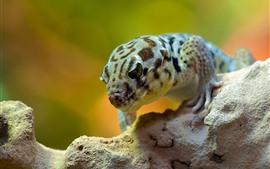 Gecko, réptil