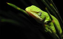 Зелёная ящерица, отдых, чёрный фон