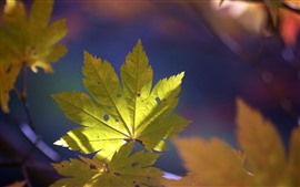 Green maple leaf, nature