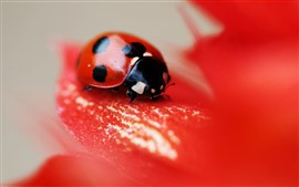 Joaninha, flor vermelha, pétalas, insetos