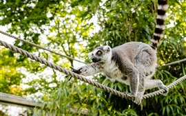 Preview wallpaper Lemur, climb, rope