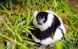 Lêmure, branco e preto, bambu
