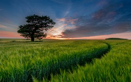 Preview wallpaper Lonely tree, green wheat field, sunset
