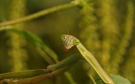 Mantis, insect, hazy background
