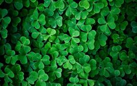 Many green clovers