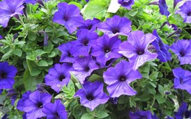 Many purple petunia flowers