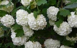 壁紙のプレビュー 多くの白いアジサイの花