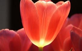 Uma tulipa vermelha close-up, flor, pétalas