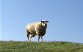 Preview wallpaper One sheep, walk, grass