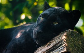 Preview wallpaper Panther, predator, rest, yellow eyes