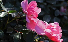 Preview wallpaper Pink roses, petals, leaves, sunshine