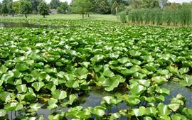 壁紙のプレビュー 池、緑の植物、草、木、田舎