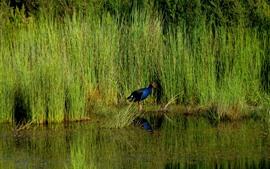 Pukeko, pássaro, grama, água