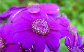 Fotografía macro de flores de color púrpura, pétalos, primavera