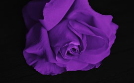 Preview wallpaper Purple rose, black background