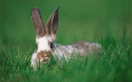 Preview wallpaper Rabbit, green grass, wildlife