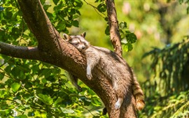 Preview wallpaper Raccoon sleep on tree