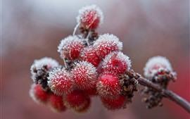 미리보기 배경 화면 붉은 열매, 서리, 추위, 겨울