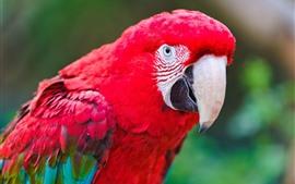 Perroquet en plumes rouges, bec, oiseau