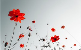 Preview wallpaper Red poppies, sky, glare