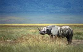 Rinoceronte, chifre, grama, animais selvagens