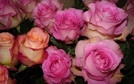Some pink roses, petals, flowers close-up