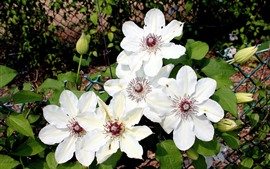 Preview wallpaper Some white clematis flowers, fence