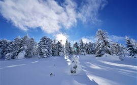 Spruce, winter, trees, thick snow, sun rays, shadow, blue sky
