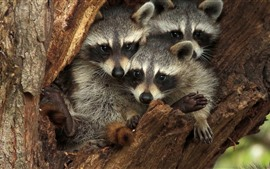 Preview wallpaper Three raccoons, hollow tree trunk