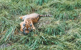 Preview wallpaper Tiger cub, grass, rest