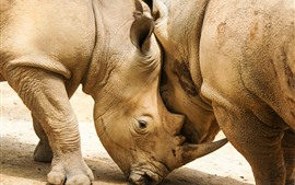 Preview wallpaper Two rhinoceroses, horns