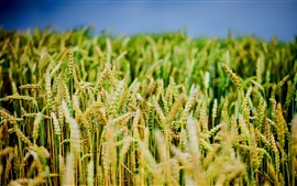 Preview wallpaper Wheat field close-up, hazy background