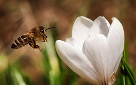 Vorschau des Hintergrundbilder Weiße Blume, Biene