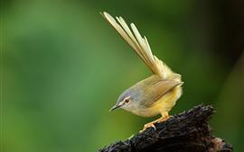 Prinia de barriga amarela, pássaro, cauda
