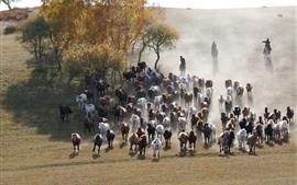 Bashang, muitos cavalos, pastagens, árvores, China