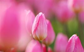 Lindas tulipas cor de rosa, flores, fundo nebuloso