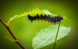 미리보기 배경 화면 검은 애벌레, 녹색 잎