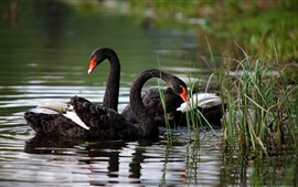 Preview wallpaper Black swans, grass, pond