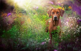 Brown dog, look, flowers, hazy background