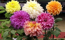 Preview wallpaper Different colors of dahlias