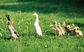 Família pato, patinhos, grama