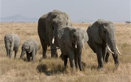 Elefantes, animais selvagens, grama