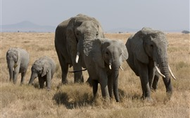Preview wallpaper Elephants, wildlife, grass