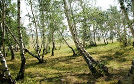 Aperçu fond d'écran Forêt, arbres, bouleau, herbe