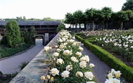 Jardín, rosas blancas florecen